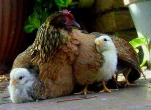 Mother hen and her chicks.